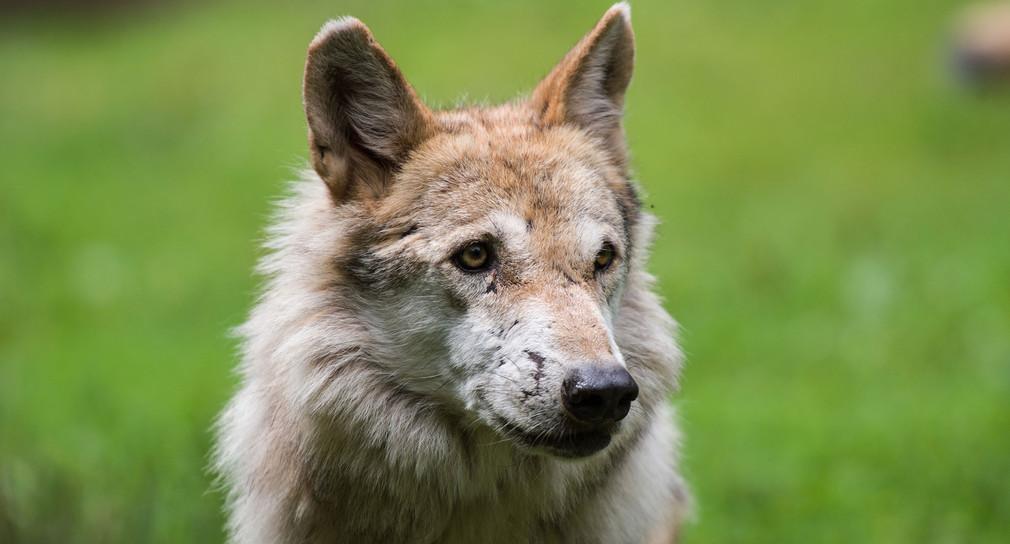 Wolf Im Odenwald